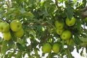 Apple Picking with Dale Corazon on Sunday, September 28, 2014 Day & Tour