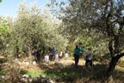 Olive Picking & Pressing with Adventures in Lebanon