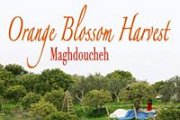 Orange Blossom Harvest at Maghdoucheh