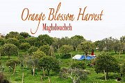 Orange Blossom Harvest at Maghdoucheh with Lebanon Stories