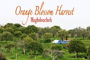 Orange Blossom Harvest - Maghdoucheh with Lebanon Stories
