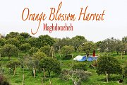 Orange Blossom Harvest - Maghdoucheh